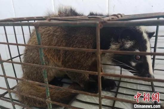 图为警方查获违规出售的果子狸。海南省公安厅供图