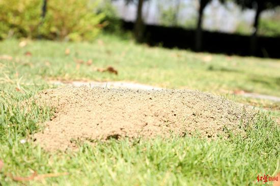 红火蚁巢穴