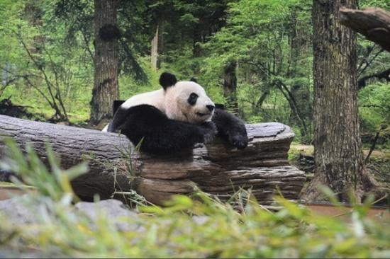 """熊猫""""真真""""(朝日新闻)"""
