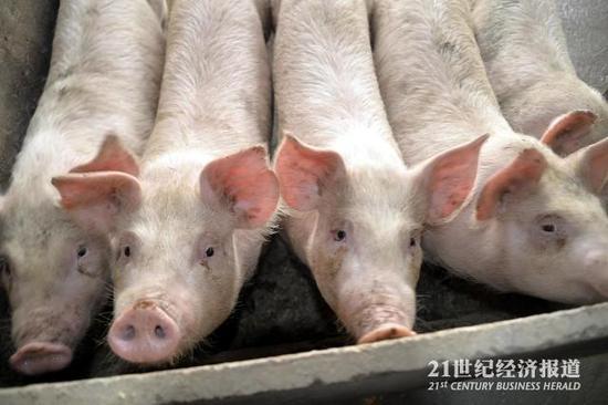超八成中国猪肉来自国外引种 本土猪种濒临灭绝