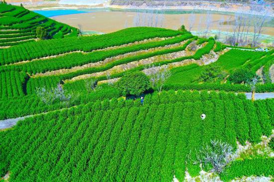 2月21日,在淳安县茶叶良种场基地,采茶工抢抓晴好天气采摘春茶。拍友 谢航凯 洪俊翔