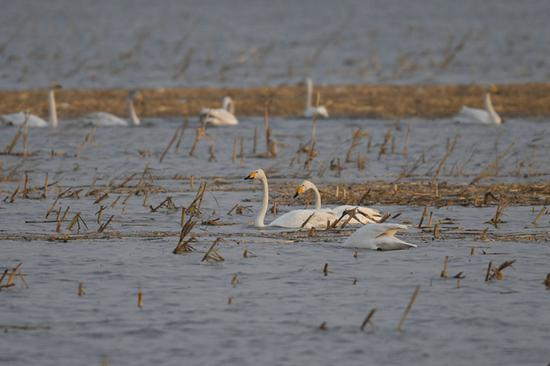 3月9日,随着天气转暖,黄河水面渐开冻,成群候鸟飞抵内蒙古鄂尔多斯市达拉特旗境内黄河沿线湿地。 新华社记者 刘磊 摄