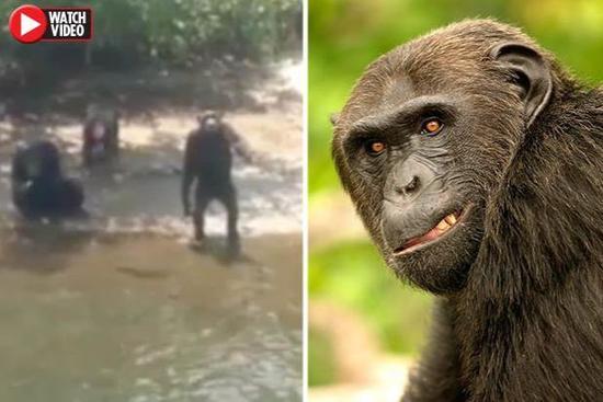 ▲栖居的暗猩猩们 图自《每日星报》