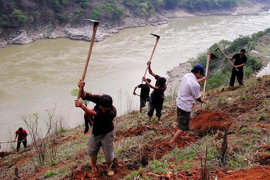 ▷长江造林局职工在植树