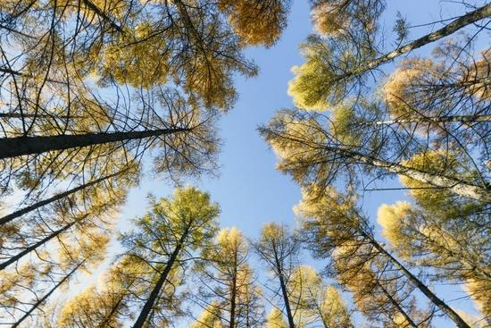 ↑这是塞罕坝机械林场内的树木(2018年10月7日摄)。