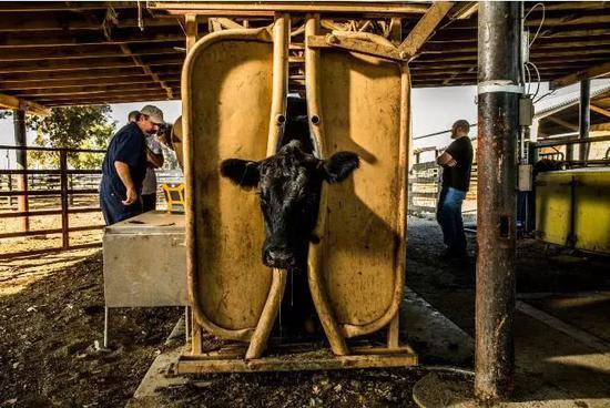 ▲兽医给牛做检查  图据华盛顿邮报