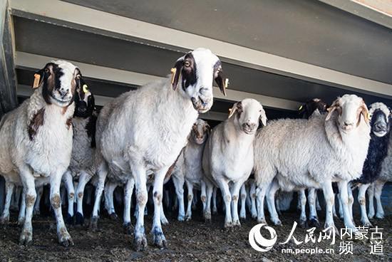 10月22日,蒙古国施舍的羊准备卸入阻隔点。郭鹏杰 摄