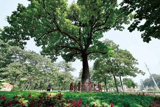 """焦裕禄当年亲手栽下的幼桐已长成大树,人们亲切地叫它""""焦桐""""。新华社记者 冯大鹏/摄"""