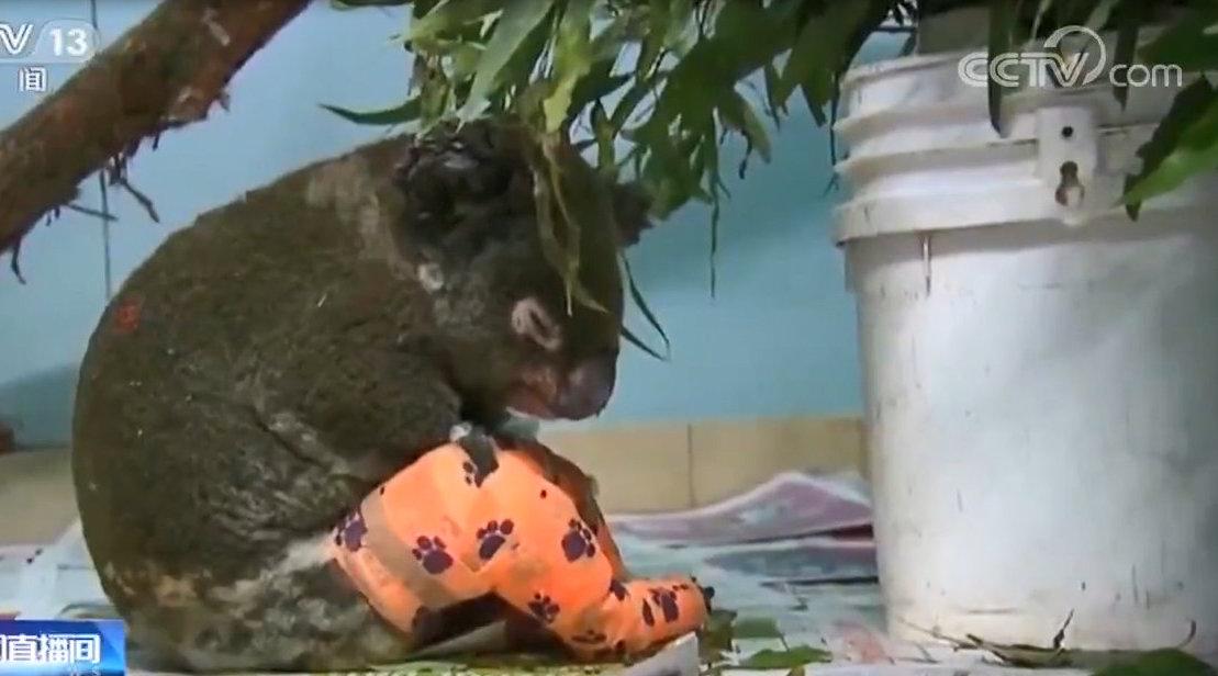 火災肆虐澳大利亞上千只考拉死亡或面臨功能性滅絕