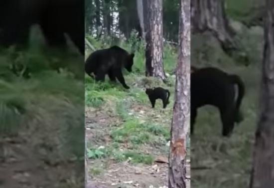 俄罗斯黑猫逼退棕熊 主人:不知道它这么勇敢