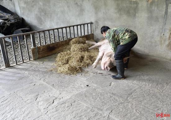 饲养员帮猪坚强起身。 本文图片 红星新闻
