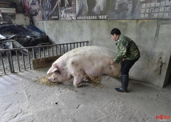 饲养员帮猪坚强起身。