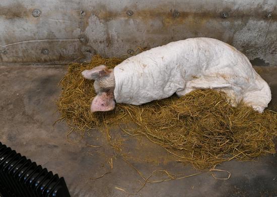"""进入冬天,""""猪坚强""""睡的时间居众。"""