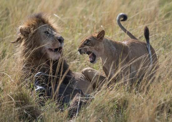 一只母狮在向雄狮吼叫。新华社记者陈诚摄