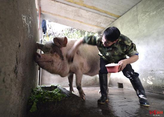 给猪坚强洗澡。