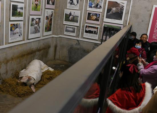 """1月11日,游客特意来探看""""猪坚强""""。"""