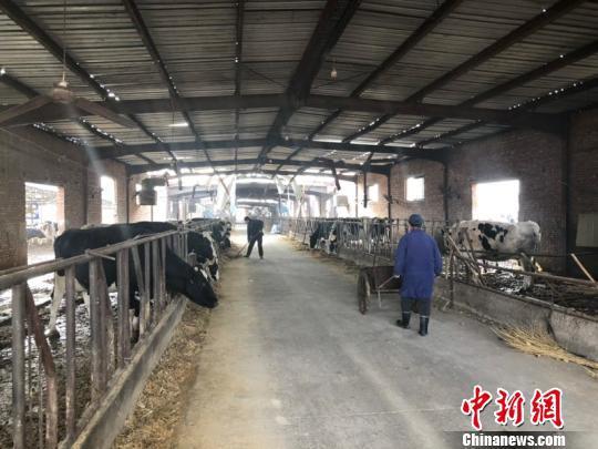 受改制影响,奶牛养殖场经营陷入逆境 宋敏涛 摄