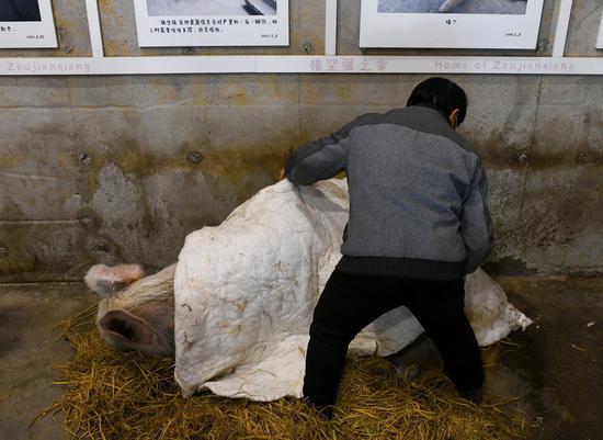 """龚国成为""""猪坚强""""盖益棉被。"""