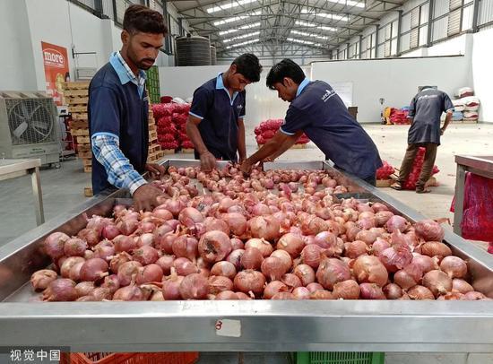 11月11日,印度浦那Manchar村,一家零售连锁店的工人正在挑选洋葱。/视觉中国