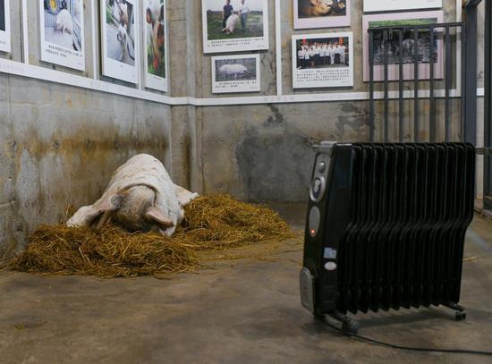 """1月12日,成都建川博物馆内,""""猪坚强""""躺在""""别墅""""草垛上,盖着棉被,烤着暖炉,睡意正酣。本文图片均为视觉中国 IC 图"""