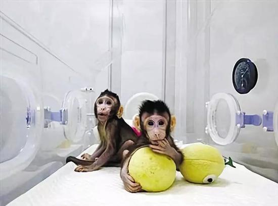 体细胞克隆猴