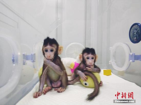 原料图:全球首个体细胞克隆猴。图片来源:中科院神经所供图