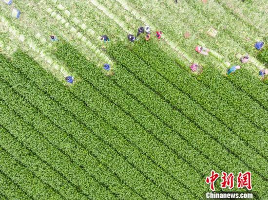 """我爸是个""""种菜的"""",他捐了两万斤西芹给武汉"""