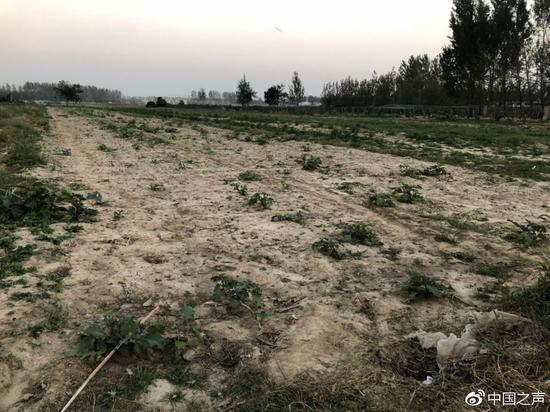 图1:空旷的田地里,留下倒伏的蔬菜叶子等。一些成熟的瓜果没来得及采摘,烂在地里。