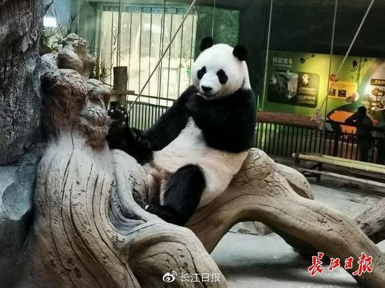 武汉动物园内的大熊猫
