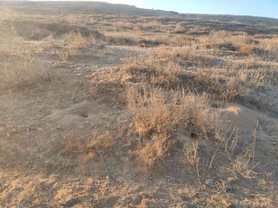 王思家附近的沙地里,老鼠洞随处可见。新京报记者 康佳 摄