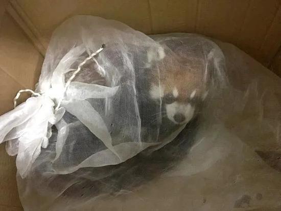 图为在高速路口查获的小熊猫,在被拍下这张罚没照片三天后死亡。