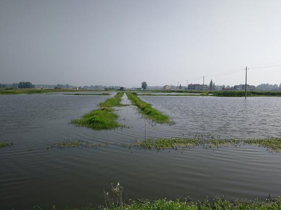 2018年5月29日,湖北省潜江市浩口镇,收虾季节的水位明显高于正常水位