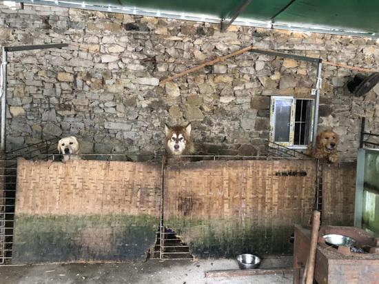 ▲几只大型犬住在浅易笼子里,近来文军红正忙着给它们搭新笼子。骚作者不祥狠狠干记者王翀鹏程 摄