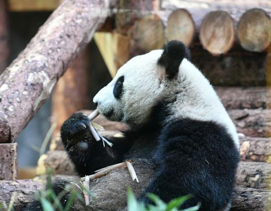 5日,熊猫在莫斯科动物园内大快朵颐。(俄罗斯卫星通讯社)