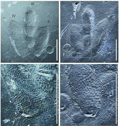 幼龙足迹与鳞片特写
