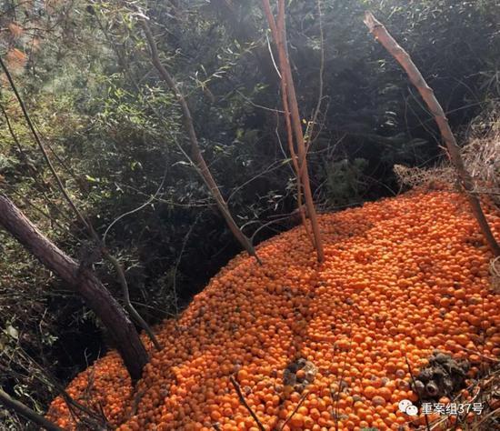 ▲金溪县果农倒掉的蜜桔。受访者供图