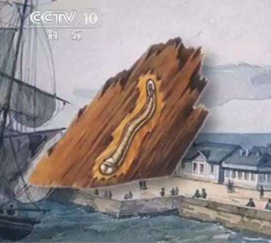 资料图:木材中的船蛆
