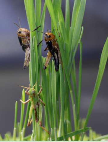 中科院院士康乐团队成功揭示蝗虫聚群成灾奥秘