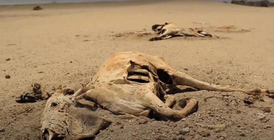 肯尼亚干涸土地上的牛尸体。图/爱尔兰红十字会