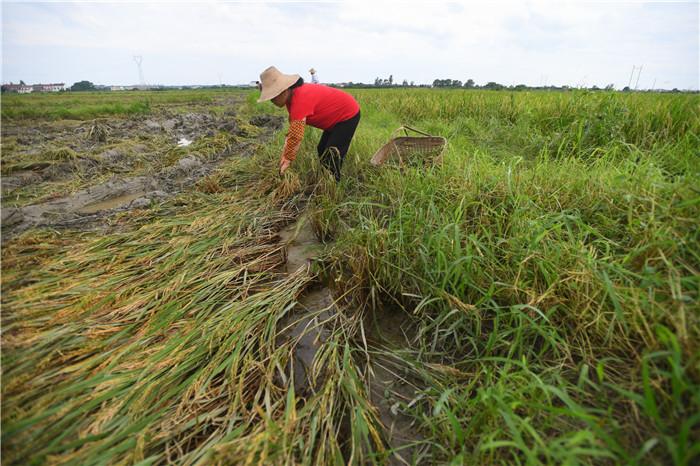 7月11日,村民在湖南省岳阳市岳阳县筻口镇一处农田里收割倒伏的早稻。新华社记者 陈泽国 摄
