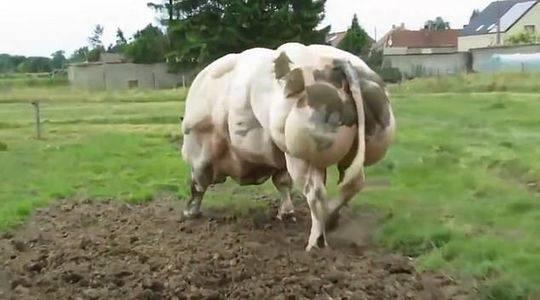 该慈善机构称,这种突变意味着这些动物失去了一种控制肌肉生长的蛋白质。