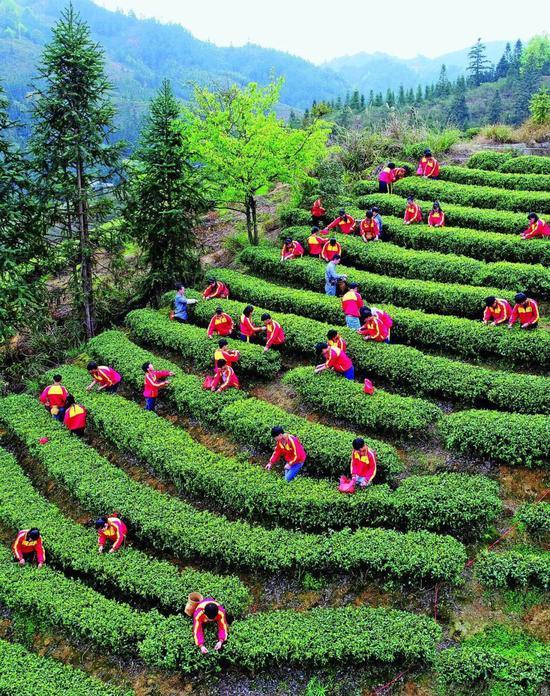 广西三江侗族自治县同乐乡中学的学生在校园实践基地练习采茶。摄影/龚普康