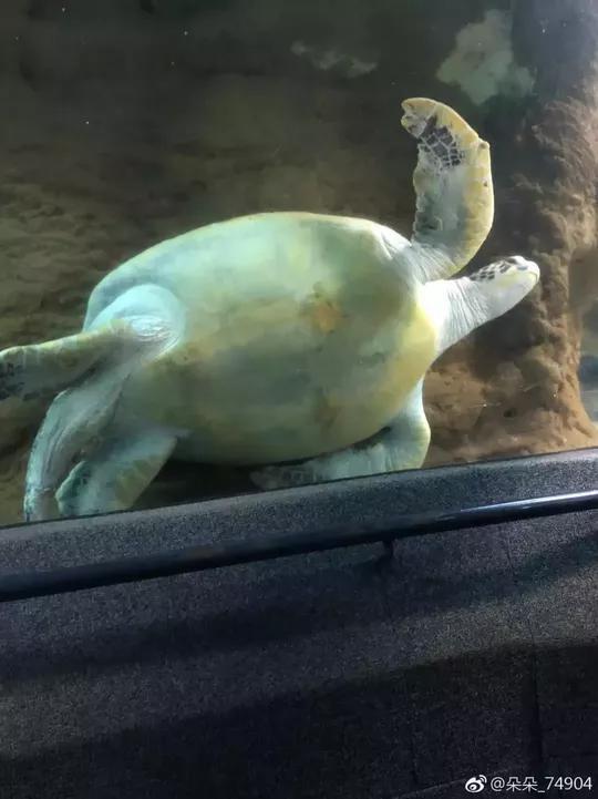 网友说的被卡住的海龟