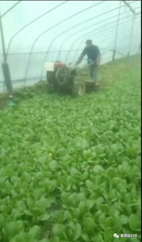 ▲黄强的大棚内,已成熟的上海青被铲失踪埋地里。 视频截图