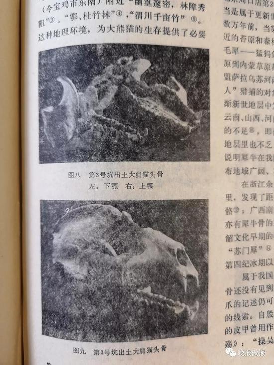 当年出土大熊猫头骨的照片。