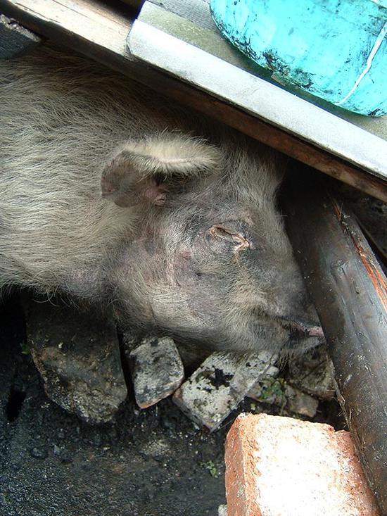 """2008年汶川大地震36天后被救的""""猪坚强""""。"""