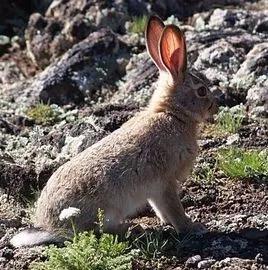 草兔內蒙古亞種