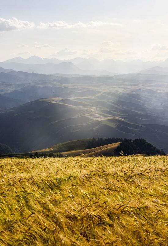 ↑在新疆木垒哈萨克自治县,成熟的小麦在夕阳照射下散发出迷人的金色(2018年8月26日摄)。新华社记者 赵戈 摄
