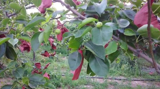 刘凤喜家梨树