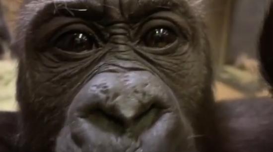 电视上播出的大猩猩画面